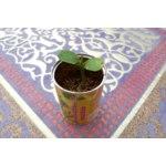 Набор для выращивания Комус «Волшебная фасоль» фото