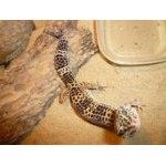 Эублефар пятнистый/ леопардовый фото