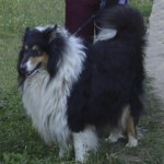 Шотландская овчарка (Колли) фото