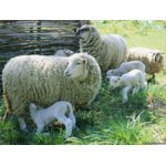 Овца Романовской породы фото