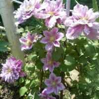 еще через несколько дней усыпан цветами