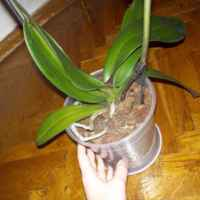 Орхидея Фаленопсис фото