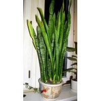 Сансевиерия (щучий хвост) - «ღЖивой абстракционизм в интерьере! ღ - Стильное - вечнозелёное и совершенно неприхотливое растение! А вы знали, что растения, листья которых тянутся вверх - самые благоприятные для дома? Фото моих - хвостиков! )))», Отзывы покупателей