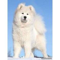 Самоедская лайка (самоед) - «Самоед в квартире или Вы точно хотите собаку? », Отзывы покупателей