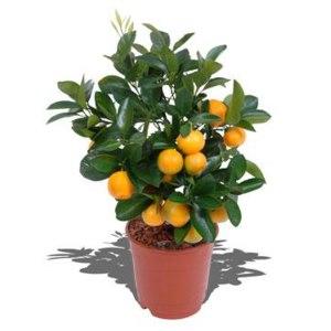Мандариновое дерево каламондин / CALAMONDIN фото