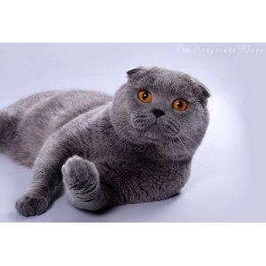 Скоттиш-фолд (Шотландская вислоухая кошка) фото
