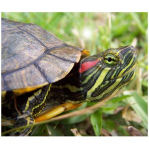 Красноухая черепаха / Trachemys scripta фото