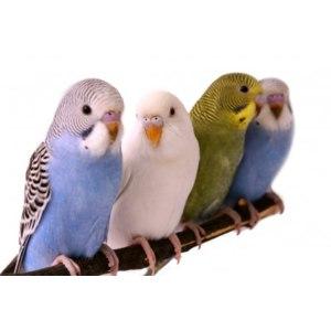Волнистый попугай / Melopsittacus undulatus фото