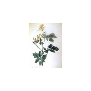Лекарственные растения   Чистотел, бородавник / Chelidonium фото