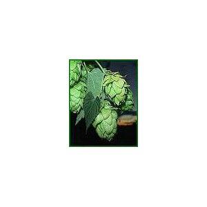 Лекарственные травы  Соплодия и Шишки хмеля обыкновенного / Strobili lupulus L фото