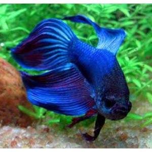 Рыбка петушок / Бойцовая рыбка / Сиамский петушок / Betta Splendens фото