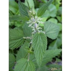 Лекарственные растения Крапивы листья фото