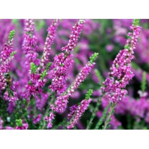 Лекарственные травы  Вереск фото