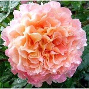 Роза Августа Луиза <Augusta-Louise> фото