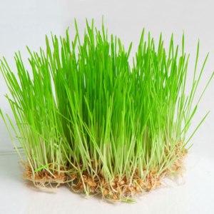 Пшеница Ваше здоровье  для проращивания фото