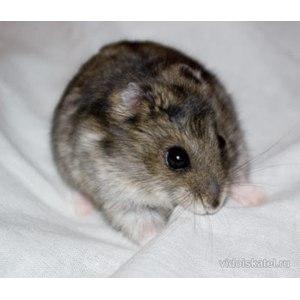 Джунгарский хомячок  фото