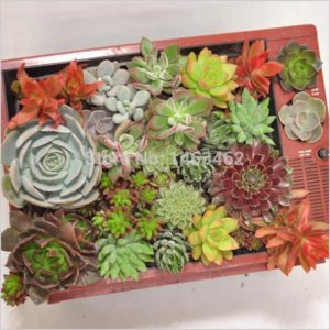 Семена Aliexpress 50pcs / bag succulent plant Seeds, indoor office small desk plants flowers seeds (Mixed colors) Free Shipping фото