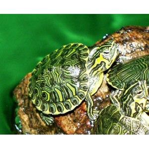 Желтоухая черепаха/Trachemys scripta scripta фото