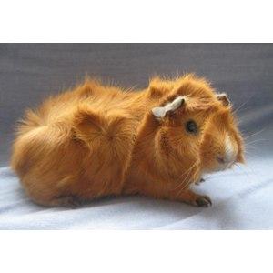 Морская свинка Абиссинская (Розеточная морская свинка) фото