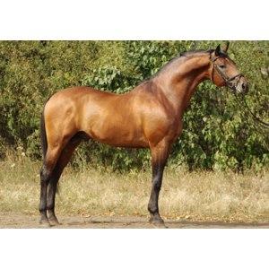 Лошадь украинской верховой породы. фото
