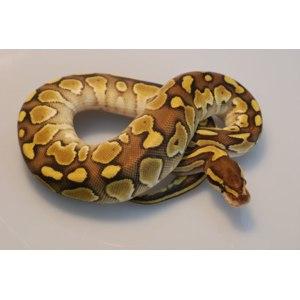 Королевский питон (Python regius) фото