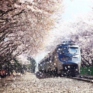 Фестиваль цветения вишни, Южная Корея  фото