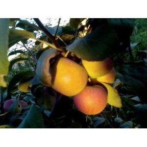 Яблоня золотая осень описание фото отзывы