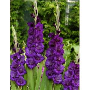 Гладиолус Purple Flora (Перпл Флора) фото