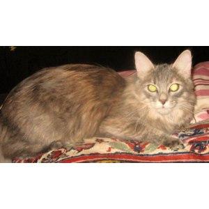 Норвежская лесная кошка (дикая) фото