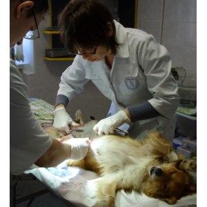 Услуги ветклиник  Лапаротомия животных фото