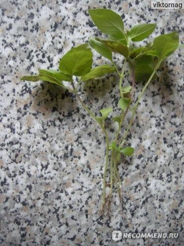 Семена ООО «Агрофирма МАРС» Базилик ЛИМОННЫЙ АРОМАТ фото