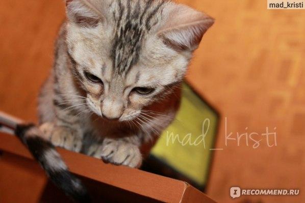 Бенгальская кошка фото