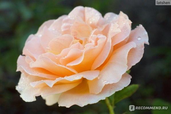 Роза плетистая Полька (Rose Climbing Polka) фото