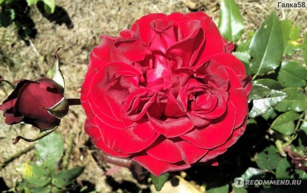 Роза флорибунда «Nina Weibull» фото