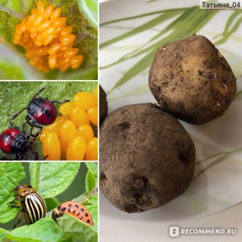 Овощи Картофель фото