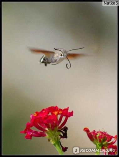 бражник колибри