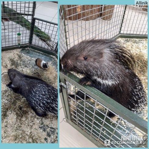 Дикобраз и его подружка свинка морская