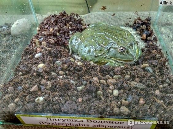 Жаба-лепешка