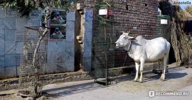 Красивая белая корова во Вриндаване