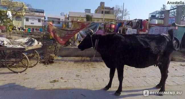 Корова во Вриндаване