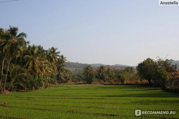 Рисовое поле. Индия. Гоа.