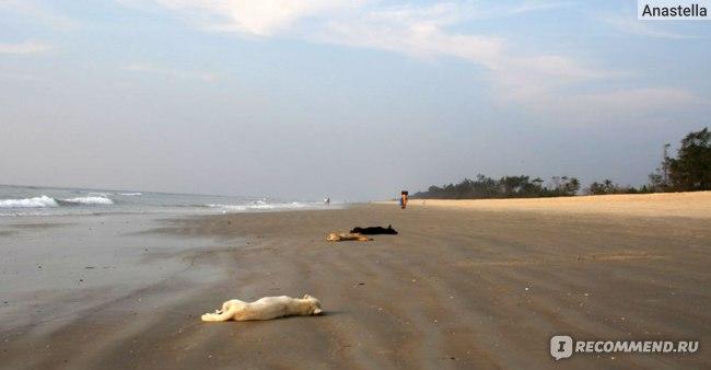 Отдыхающие собаки. Пляж Бенаулим. Гоа. Индия.