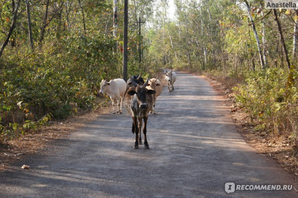 Коровы. Индия. Гоа.