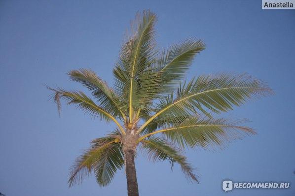 Пальма. Гоа. Индия.
