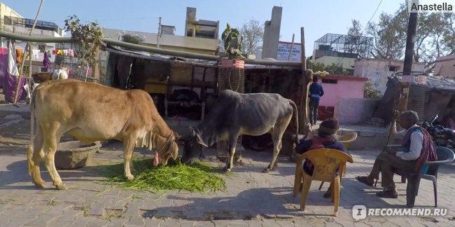 Довольные коровы во Вриндаване