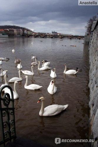 Лебеди на Влтаве на фоне Пражского Града. Прага.