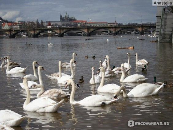 Лебеди на фоне Градчан. Прага.