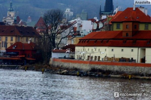 Стая лебедей над рекой Влтава. Прага.