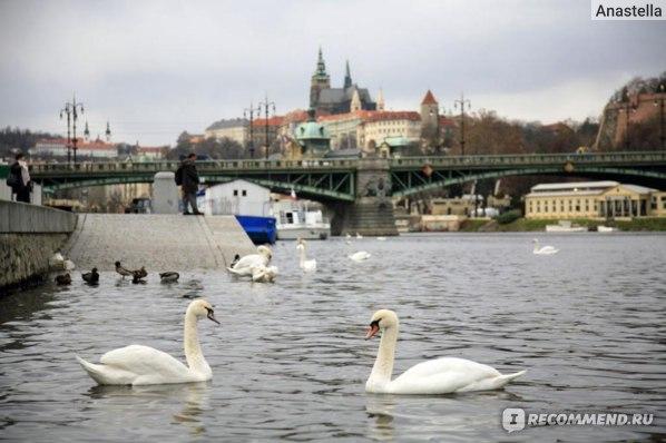 Лебеди на реке Влтава. Прага.