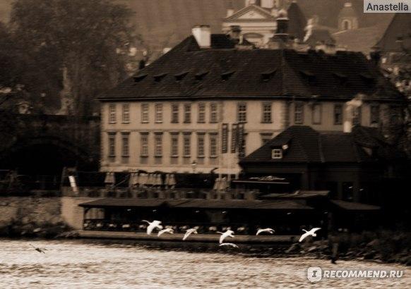 Стая лебедей, пролетающих над рекой Влтава. Прага.